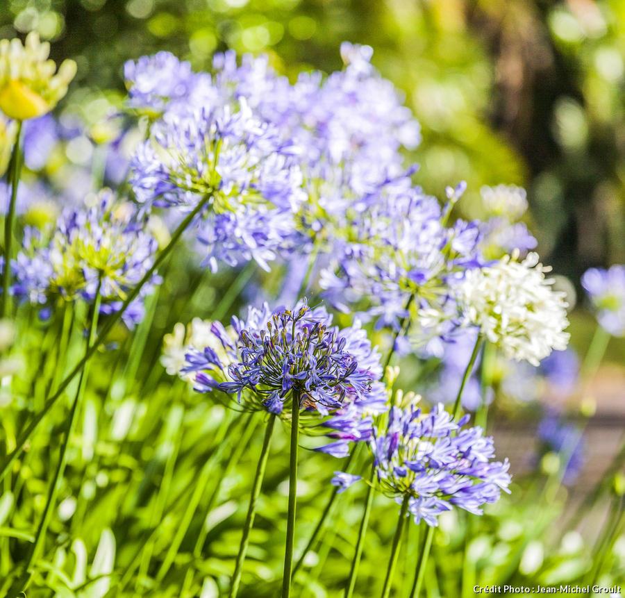 Agapanthes bleues en fleur