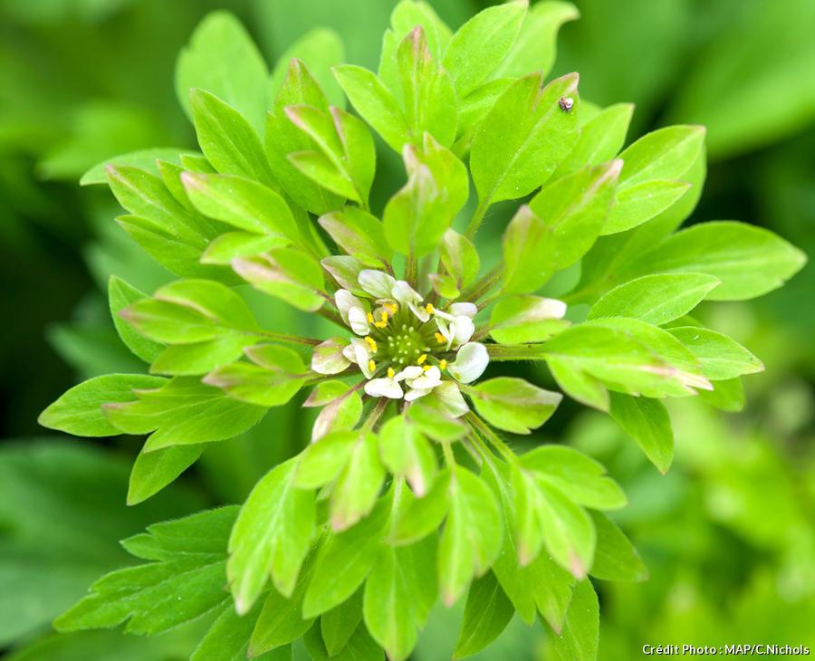 dja-anemone-nemorosa-viridiflora-map-dj123.jpg