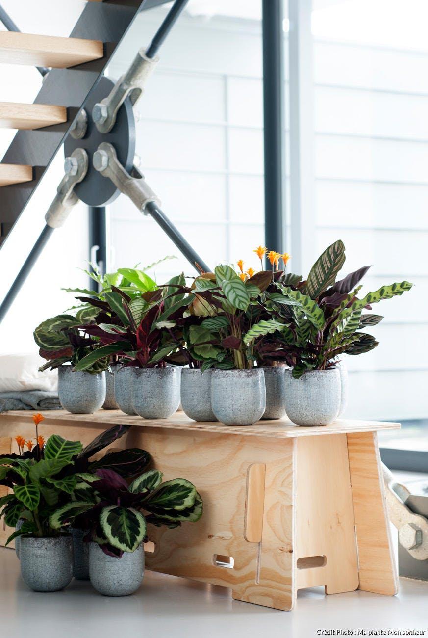 calathea dans des pots sur une étagère