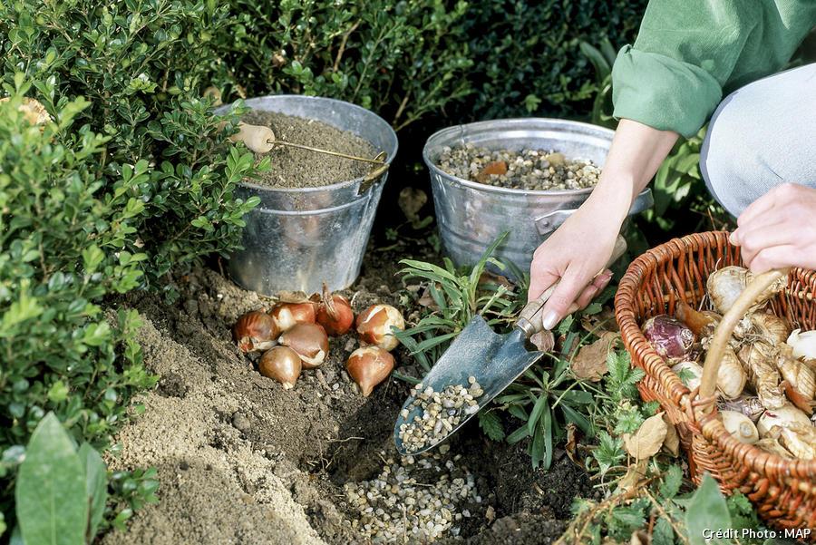 Comment planter des bulbes de tulipes