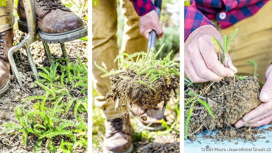 Diviser l'achillea millefolium