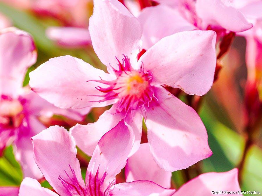 dja-gardez-un-laurier-rose-trapu-et-fleuri-jmg.jpg