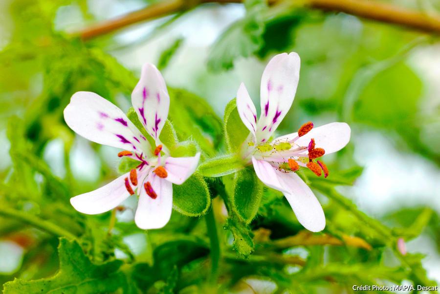 dja-geranium-pelargonium-puceron-map-a-descat.jpg