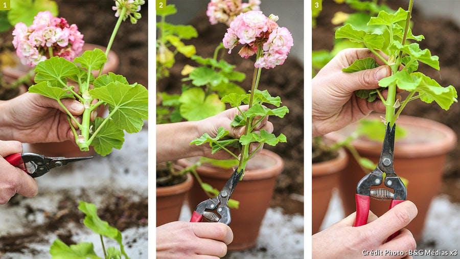 dja-geraniums-bouturage-pap-a-pas-1-bg-medias.jpg