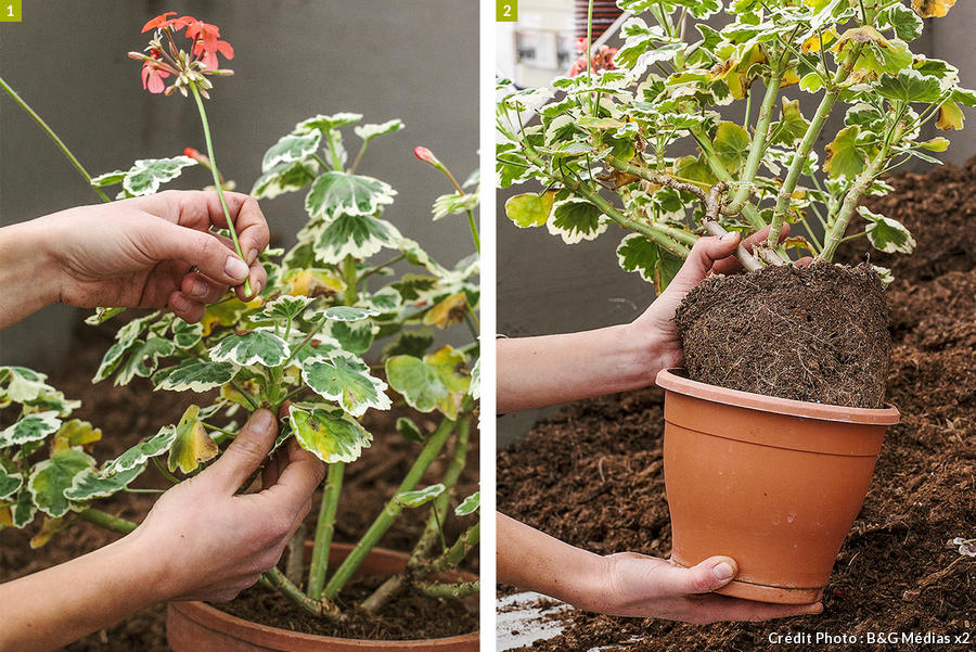 dja-geraniums-rempotage-pap-a-pas-1-b-g-medias.jpg