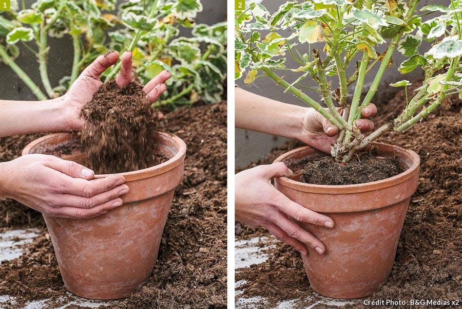 dja-geraniums-rempotage-pap-a-pas-3-b-g-medias.jpg
