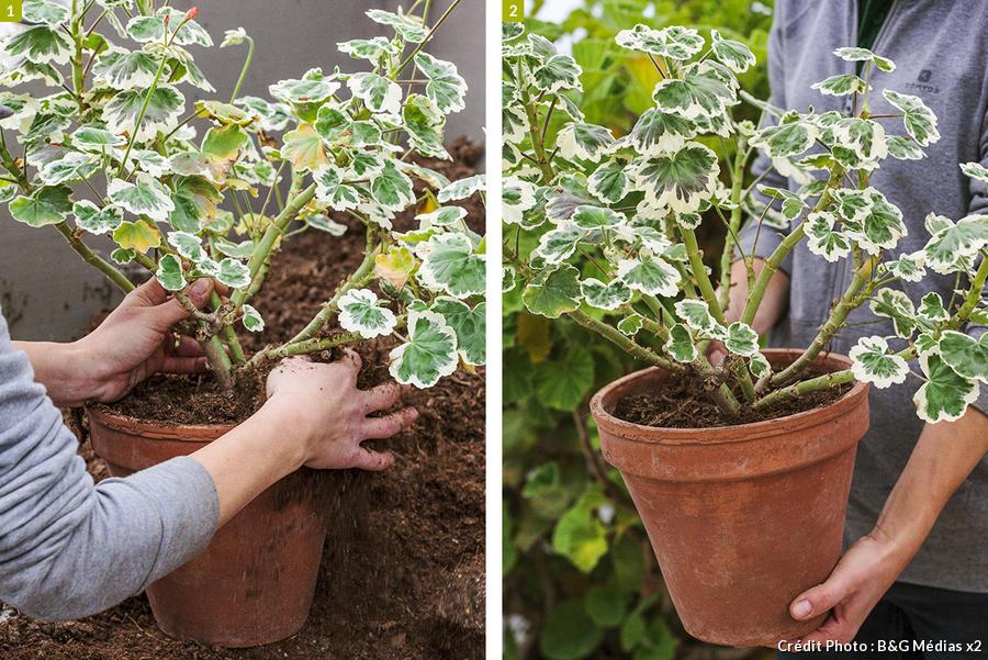 dja-geraniums-rempotage-pap-a-pas-4-b-g-medias.jpg
