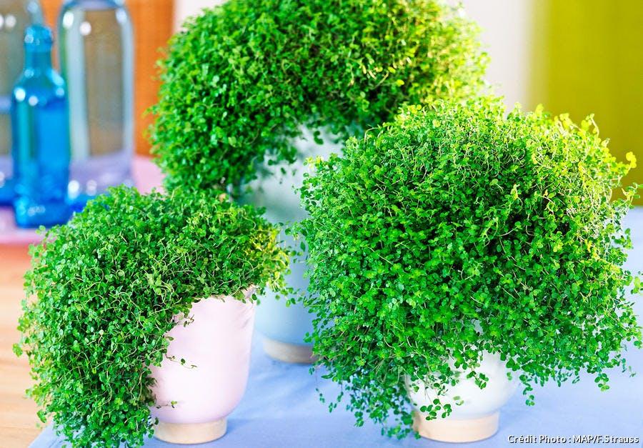 Mousses décoratives en plantes d'intérieur