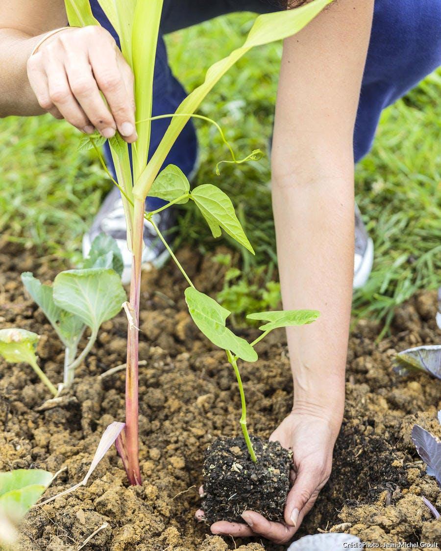 Plantation de plantes compagnes