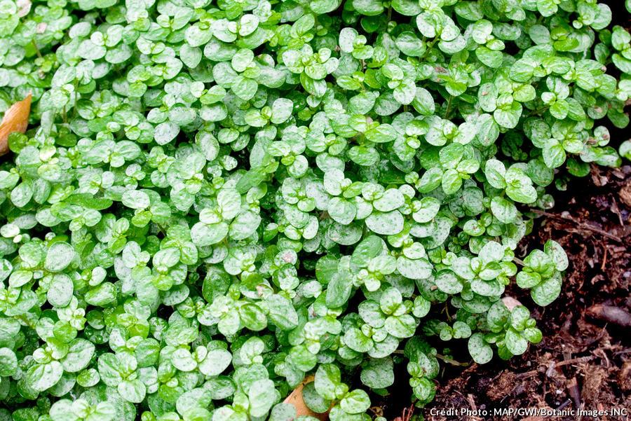 dja-plantes-coussins-helxine-soleirolia-soleirolii-dj123.jpg