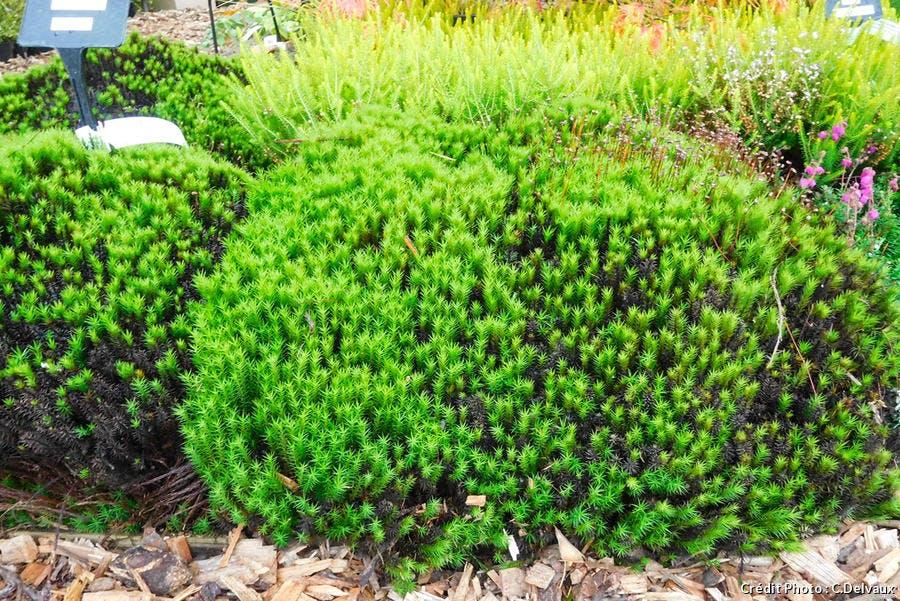 dja-plantes-coussins-polytric-commun-polytrichum-commune-dj123.jpg