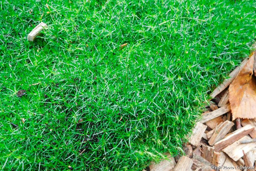 dja-plantes-coussins-sagine-sagina-subulata-dj123.jpg