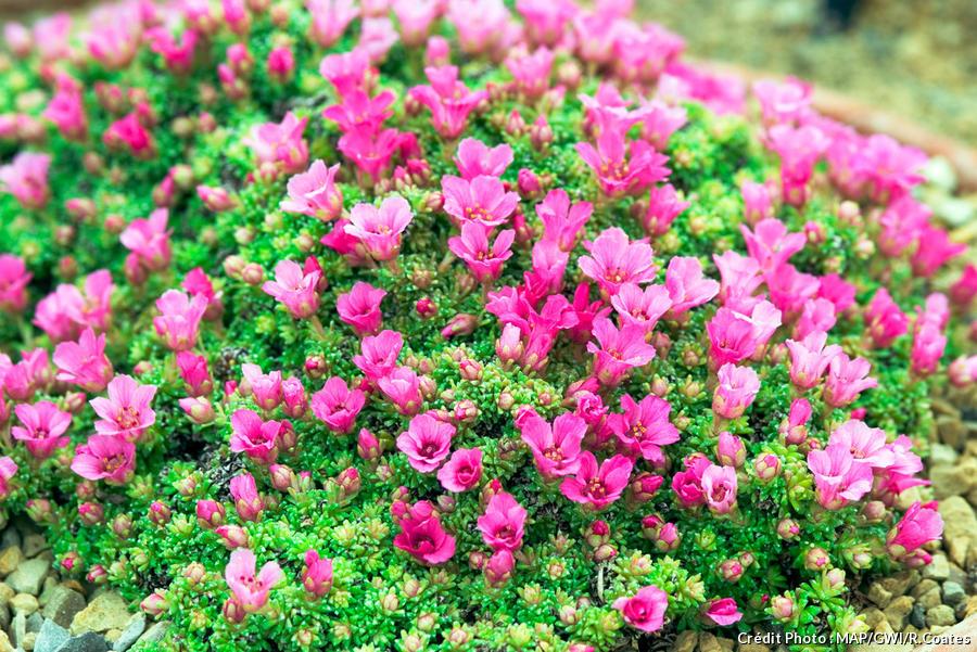 dja-plantes-coussins-saxifrages-mousses-dj123.jpg