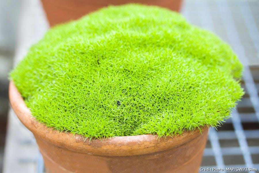 dja-plantes-coussins-scleranthus-uniflorus-dj123.jpg