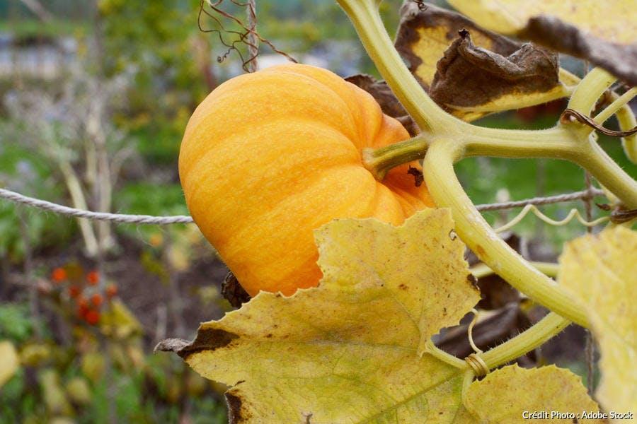 Potiron orange automne