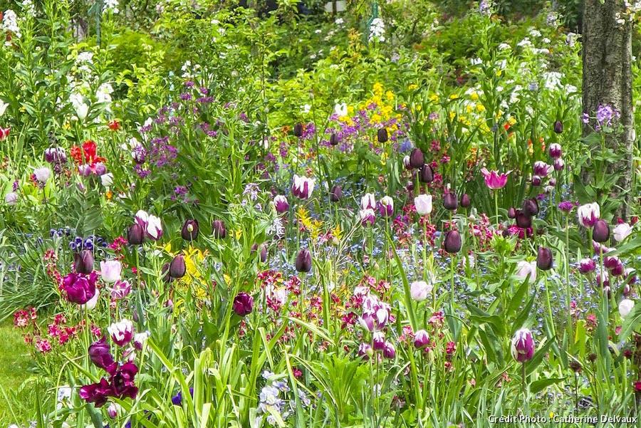Plantation de tulipes avec des pensées, des érysimums et des myosotis