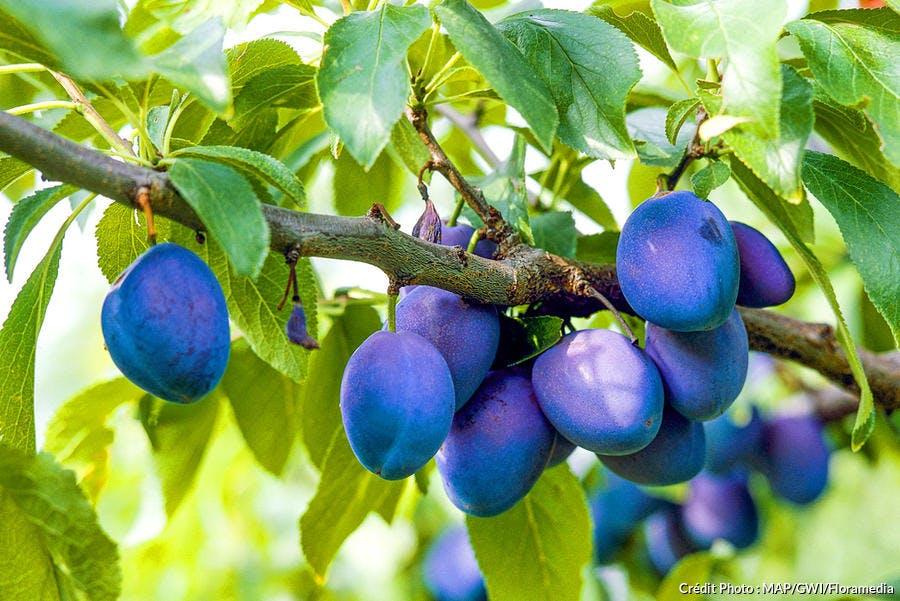 Prunes sur une branche de prunier