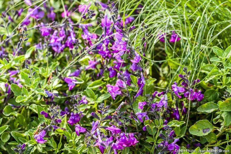 Sauge artic blaze purple