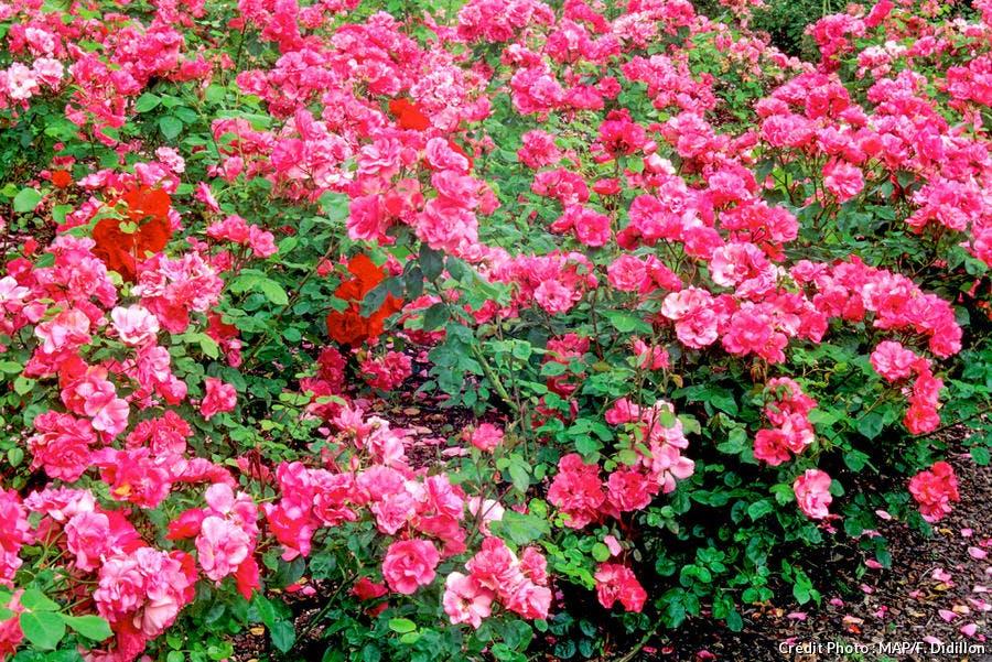Rosier resistant Rosy La Sevillana
