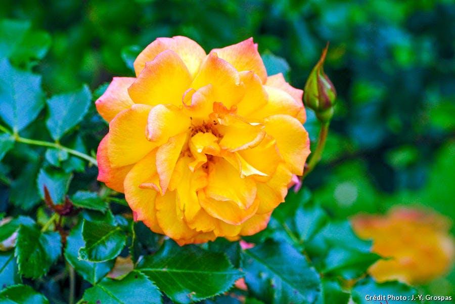 Rosier resistant Rosa Sahara