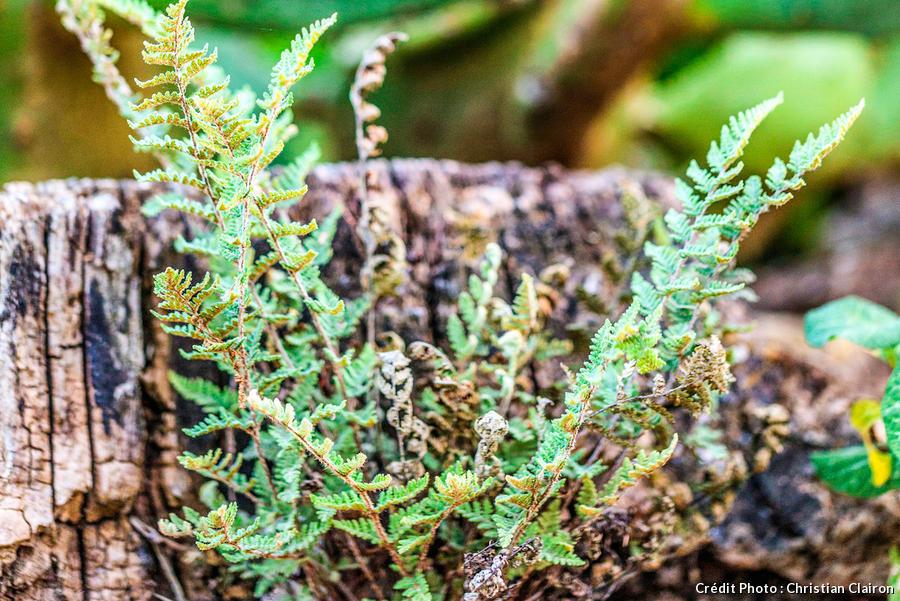 Fougère Cheilanthes Microphylla