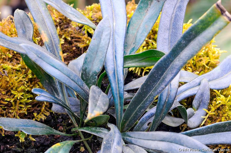 Fougère Microsorum Thailandicum