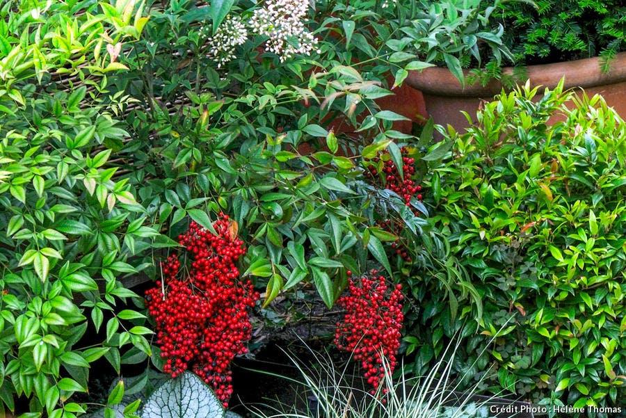 Buisson avec petits fruits de couleur rouge