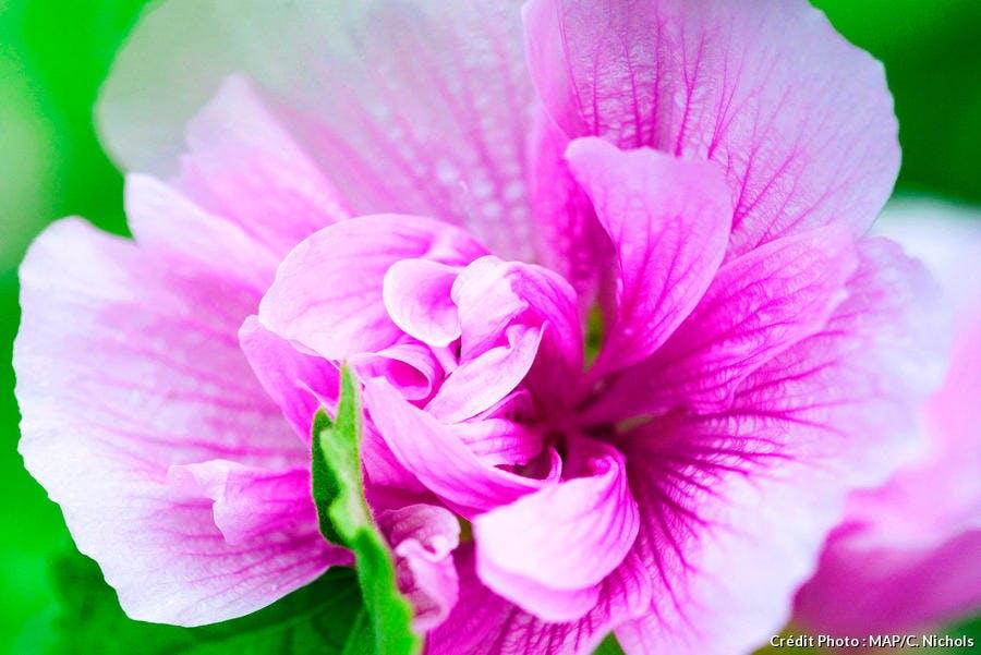 Zoom sur une rose fushia