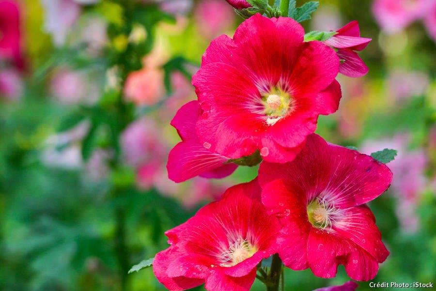 Zoom sur un rosier