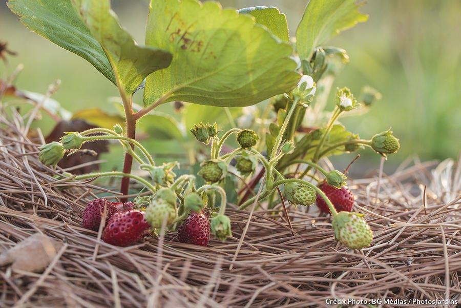 dja_aiguille-pin-fraisier_bgm.jpg