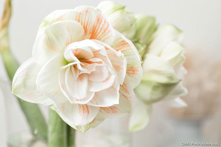 Fleur d'amaryllis blanc-rosé