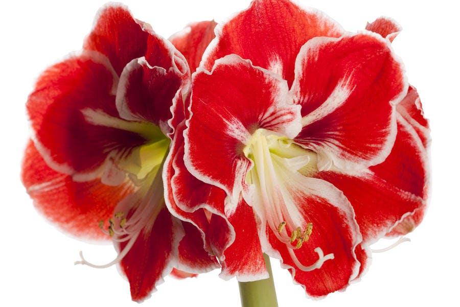 fleur d'amaryllis rouge