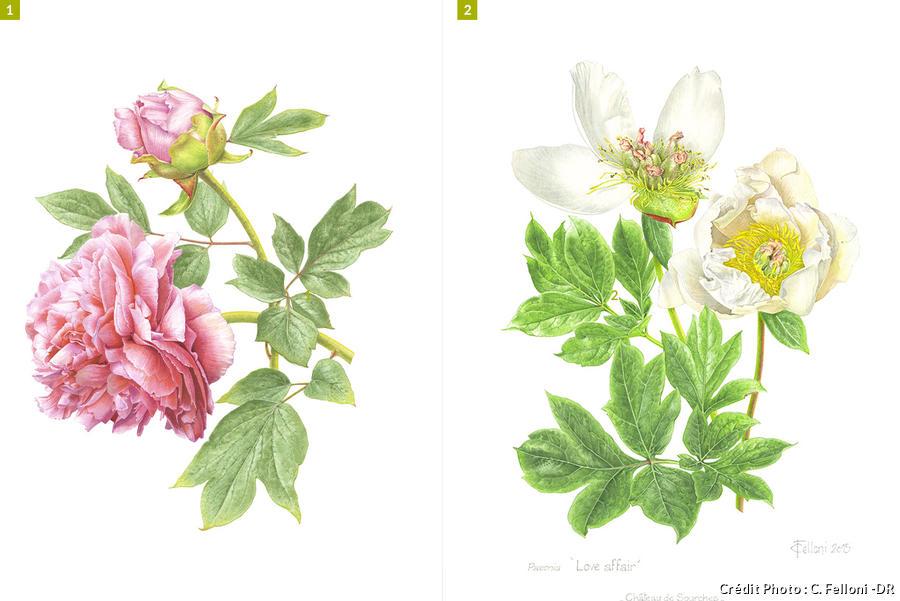 aquarelles de pivoines rose et blanche