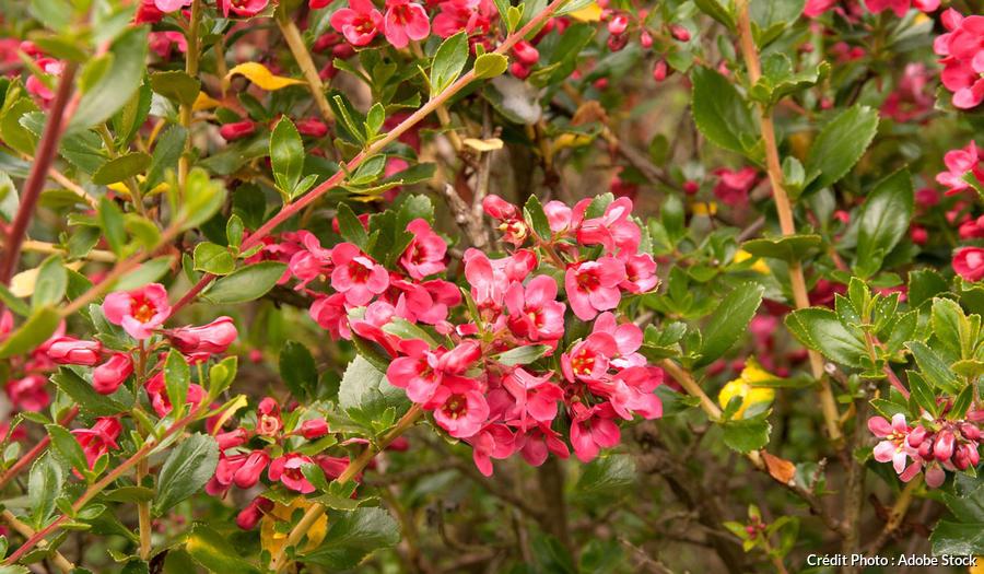 Escallonia en fleurs
