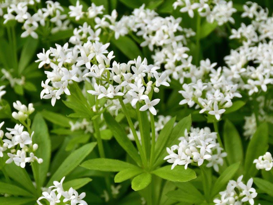 Aspérule odorante ou petit muguet, plante couvre-sol