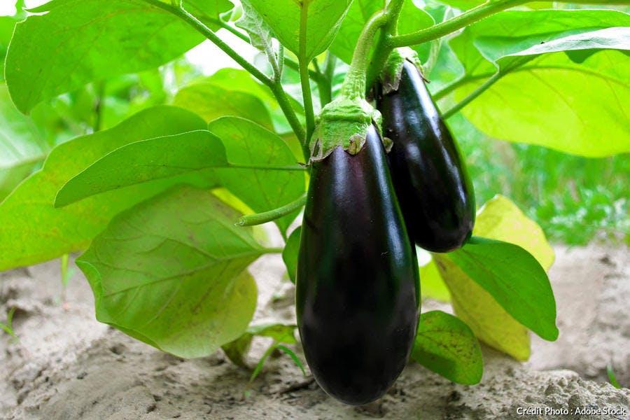 Plan d'aubergine au potager