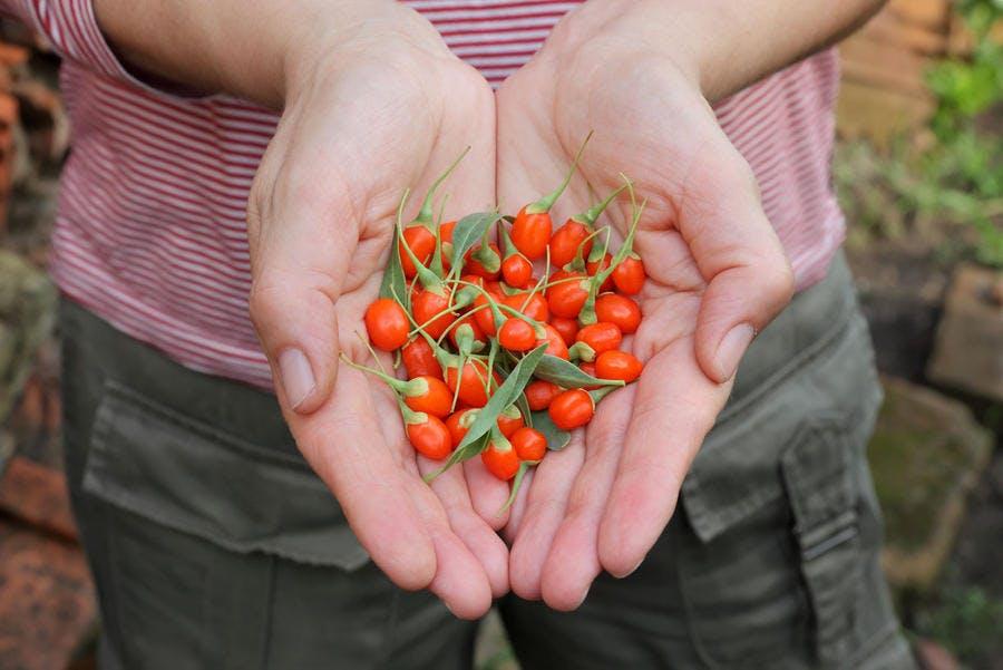 Baies de goji fraîchement récoltées