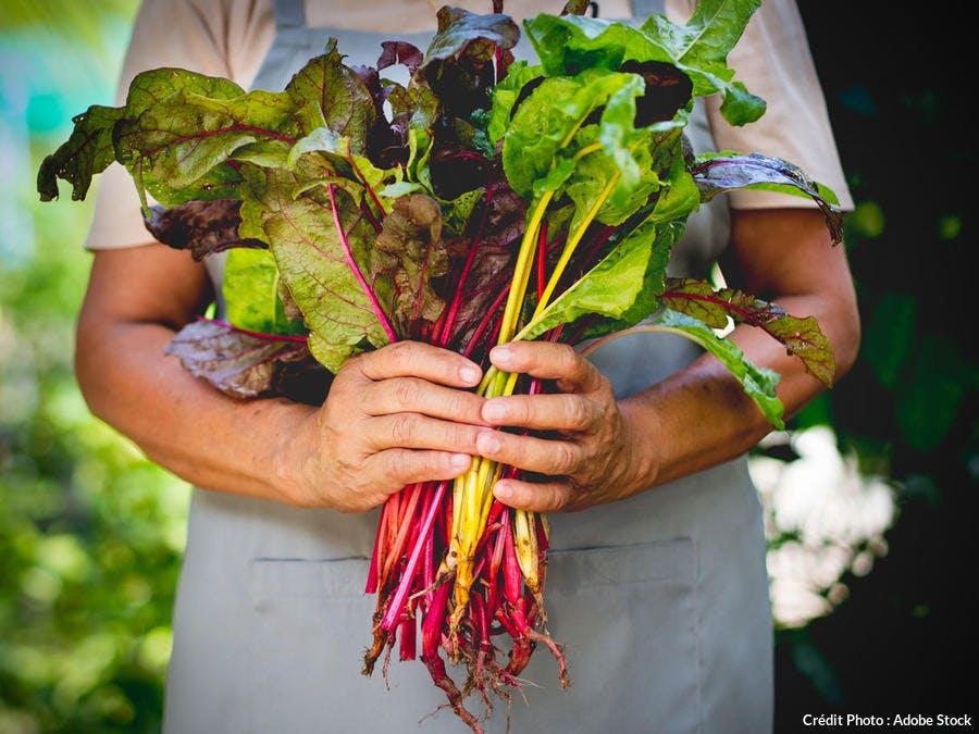 Récolte de blettes multicolores