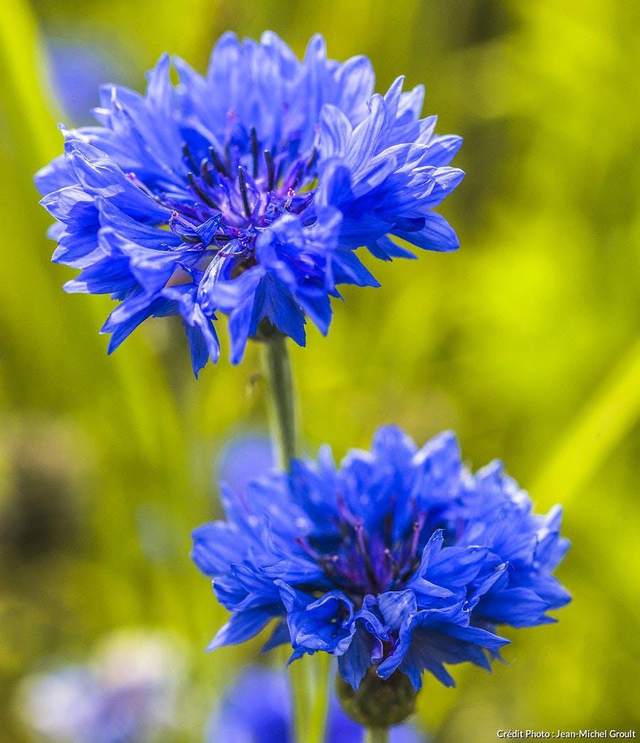 Bleuet Centaurea cyanus