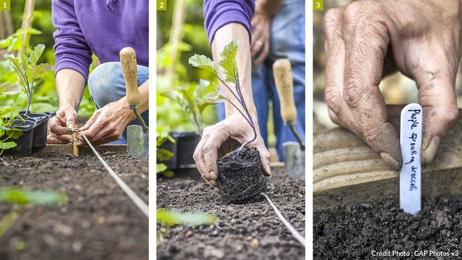 Semis de brocoli violet