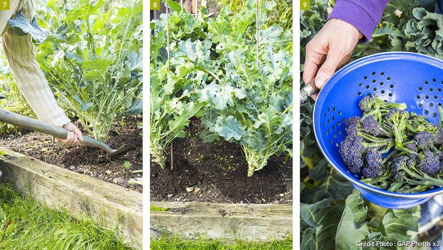 Récolte des brocolis violets