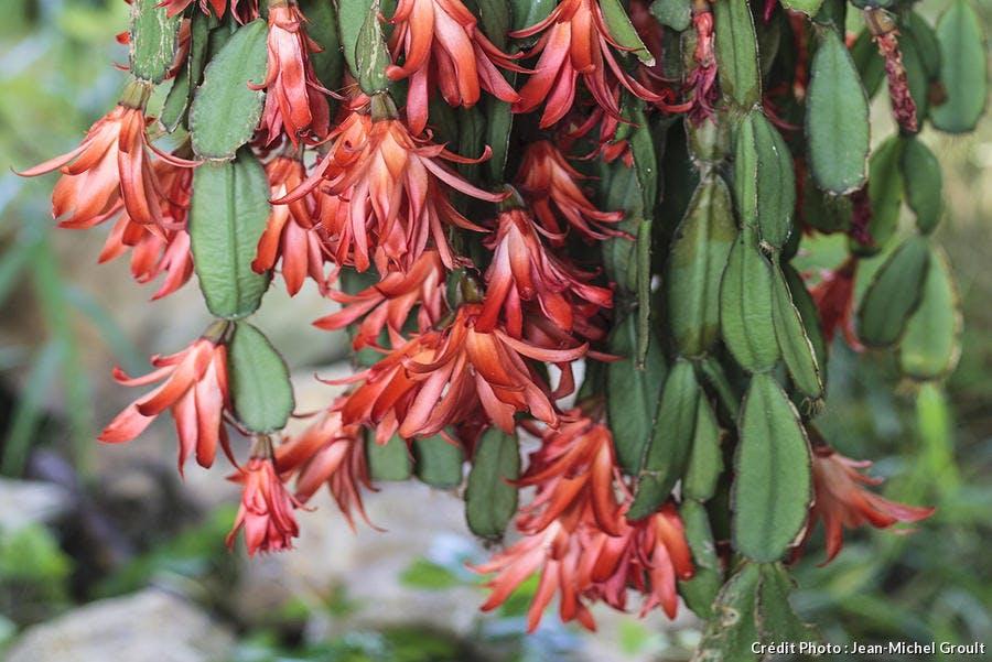 Un cactus de Pâques