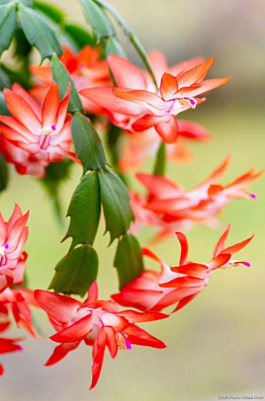 Cactus de Noël à fleurs orange