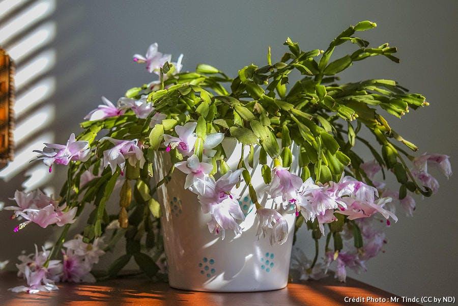 Cactus de Noël : 3 étapes simples pour le faire refleurir | Détente Jardin
