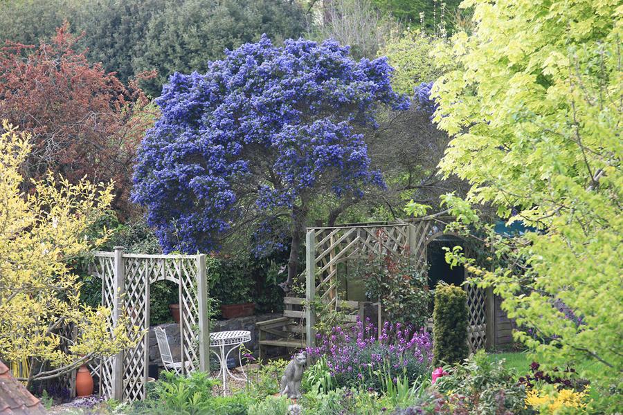 Céanothe couvert de fleurs bleues dans un jardin