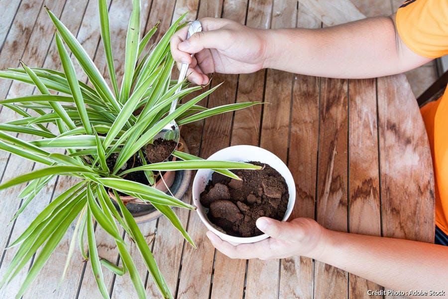 Marc de café dans les plantes vertes