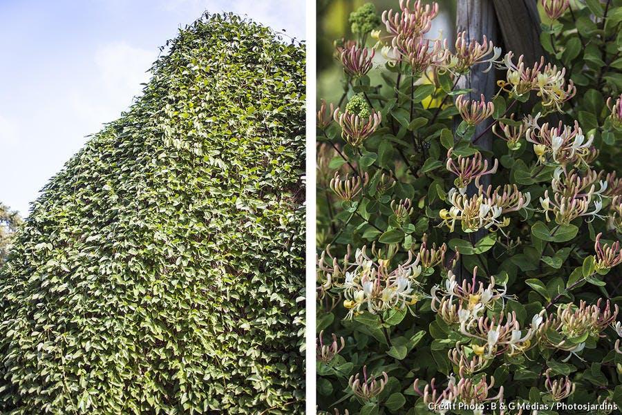 dja_camouflage-plante-grimpante-chevrefeuille_bgm.jpg