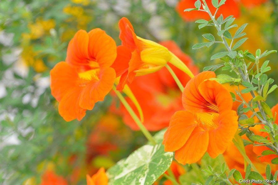 fleur de capucine orange