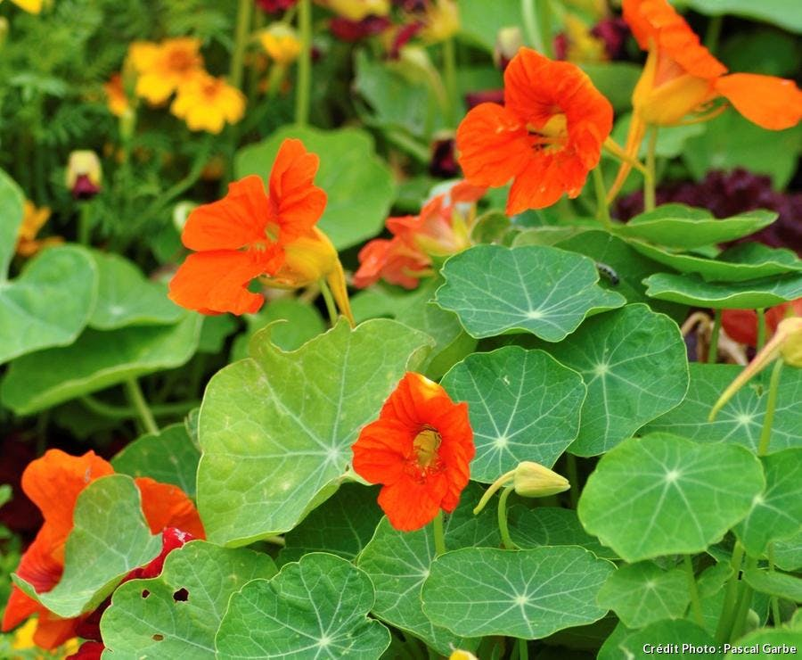 Capucine avec fleurs orange