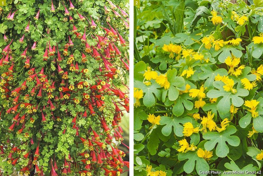 Grimpantes - capucines tropaeolum tricolorum et peregrinum
